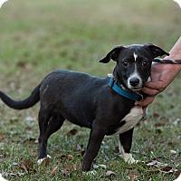 Adopt A Pet :: Kaylee - Daleville, AL