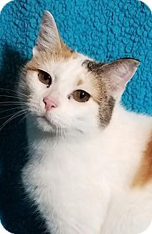 Domestic Shorthair Cat for adoption in Colfax, Iowa - Diamond