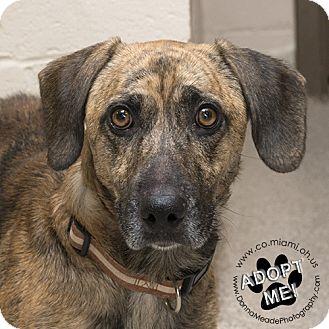 Basset Hound/Dachshund Mix Dog for adoption in Troy, Ohio - Crispin