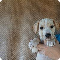 Adopt A Pet :: Kona - Oviedo, FL