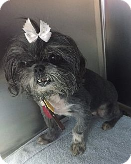 Shih Tzu Mix Dog for adoption in Independence, Missouri - Dolly
