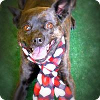 Adopt A Pet :: Tiger Lily - Casa Grande, AZ