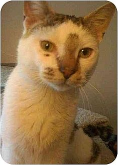 Domestic Shorthair Cat for adoption in Tomball, Texas - Larry