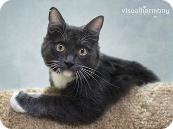 Russian Blue Cat for adoption in Phoenix, Arizona - Blue