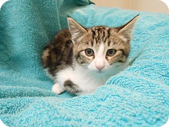 Domestic Mediumhair Kitten for adoption in Fountain Hills, Arizona - OLLIE