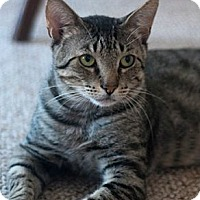 Domestic Shorthair Cat for adoption in New York, New York - Juni