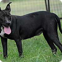 Adopt A Pet :: Hattie - Pocahontas, AR