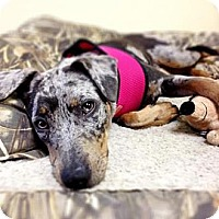 Adopt A Pet :: Pippa - Richmond, VA