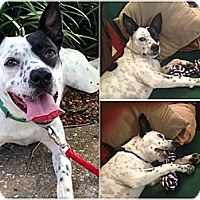Adopt A Pet :: Mazey - Orange Park, FL