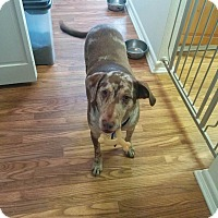 Adopt A Pet :: Alice - Conway, AR