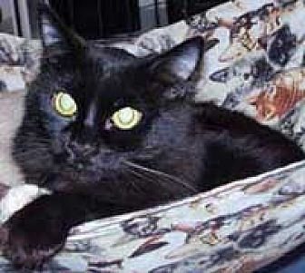 Domestic Mediumhair Cat for adoption in Evergreen, Colorado - Midnight