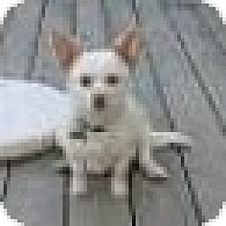 Photo 3 - Chihuahua Mix Dog for adoption in Richmond, Virginia - Molly