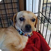 Adopt A Pet :: BIG BOY - TAHOKA, TX