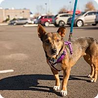 Adopt A Pet :: Shorty - E. Greenwhich, RI