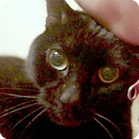 Adopt A Pet :: Captain Cook - Beautiful Bombay! - Brooklyn, NY