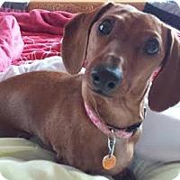Adopt A Pet :: Lola Mae - Minnetonka, MN