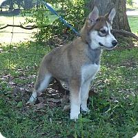 Adopt A Pet :: Java - Bedminster, NJ