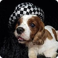 Adopt A Pet :: Binx Turner - Urbana, OH