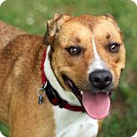 Adopt A Pet :: BRANDY - Salem, NH