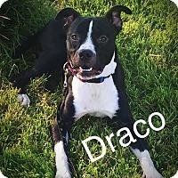 Adopt A Pet :: Draco - Florence, KY