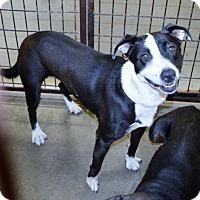 Adopt A Pet :: Bree - San Jacinto, CA