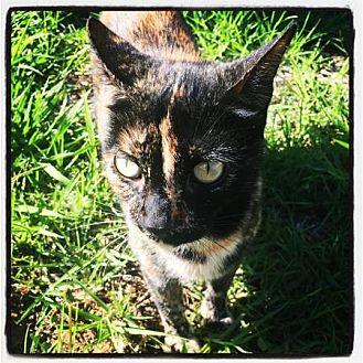 Calico Cat for adoption in Harbor City, California - TROUBLE!