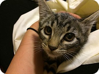 Domestic Shorthair Kitten for adoption in Philadelphia, Pennsylvania - Luna