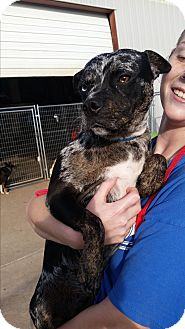 Pug/Boston Terrier Mix Dog for adoption in Norman, Oklahoma - Mabel