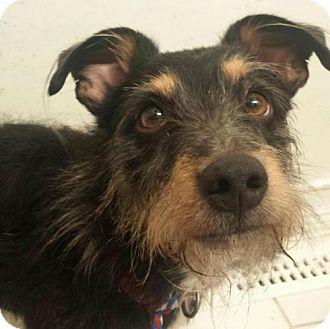 Terrier (Unknown Type, Medium) Mix Dog for adoption in Columbus, Ohio - Duffy