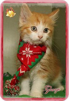 Domestic Mediumhair Kitten for adoption in Shippenville, Pennsylvania - George