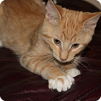 Adopt A Pet :: Elmo KITTEN - tampa, FL