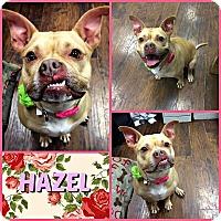 Adopt A Pet :: Hazel - Colmar, PA