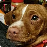 Adopt A Pet :: Twinkie - Aurora, CO