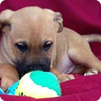 Adopt A Pet :: Corbin - Albany, NY