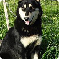 Adopt A Pet :: Kasha - Vacaville, CA
