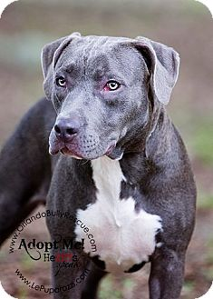 American Pit Bull Terrier Mix Dog for adoption in Orlando, Florida - Mittens