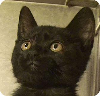 Domestic Shorthair Kitten for adoption in El Cajon, California - Gypsy