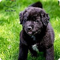 Adopt A Pet :: Koda Bear - Scottsdale, AZ