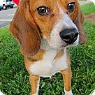 Adopt A Pet :: Retired Research Beagles