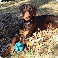Adopt A Pet :: Ari - Arlington, VA