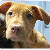 Adopt A Pet :: Little One - Springdale, AR