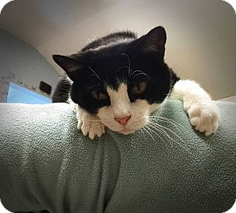 Domestic Shorthair Cat for adoption in Beacon, New York - William