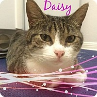 Adopt A Pet :: Daisy - Friendswood, TX