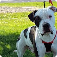 Adopt A Pet :: Buddy AKA Bully - Shelby, MI
