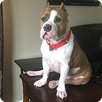 American Pit Bull Terrier Mix Dog for adoption in Burbank, California - Blade