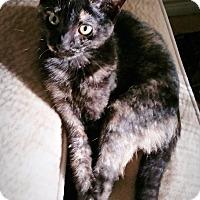 Adopt A Pet :: Kitten Oreo & Mom Kara-mel - Orange, CA
