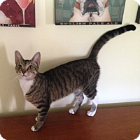 Egyptian Mau Cat for adoption in Albemarle, North Carolina - Julia Grant
