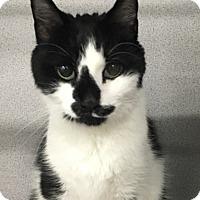 Adopt A Pet :: Kitsur - Worcester, MA
