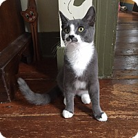Domestic Shorthair Kitten for adoption in Albany, New York - Malle