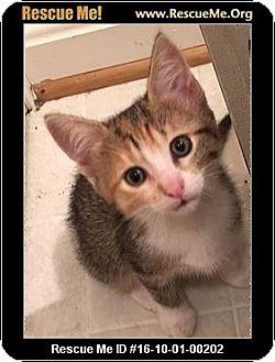Calico Kitten for adoption in Waldorf, Maryland - Jet